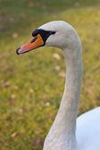 Cisne blanco — Foto de Stock