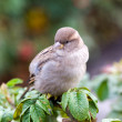 Stock Photo: Portrait of sparrow