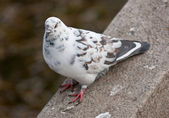 The white pigeon — Stock Photo