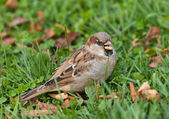 Angry sparrow — Stock Photo