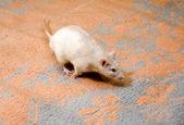 Running rat — Stock Photo