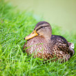 Duck in grass - Stock Photo