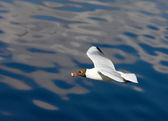 Hungry seagull — Stock Photo