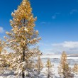 Winter larches - Stock Photo