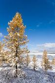 Winter larches — Stock Photo