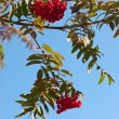Ripe autumn rowan — Stock Photo