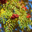 Rowan tree — Stockfoto
