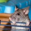 Gray curious rat - Stock Photo