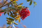 Branch of rowan tree — Stock Photo