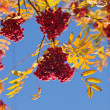 Stock Photo: Branches of a ripe rowan tree