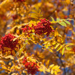 Branches of autumn rowan tree — Stock Photo