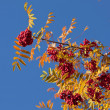 Stock Photo: Rowan tree