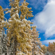Stock Photo: Winter coniferous wood