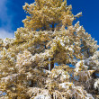 Larch under snow — Stock Photo #4545416