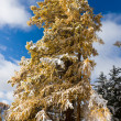 Stock Photo: Larch under snowfall