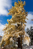 Larch under a snowfall — Stock Photo