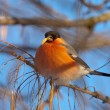 The bullfinch - Stock Photo