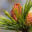Pine young cones — Stock Photo