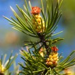 Pine with young cones — Stock Photo