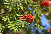 Branch of rowan-tree — Stock Photo