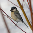 Titmouse on a branch — Stock Photo #5146614