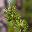 Pine branch — Stock Photo #5222063