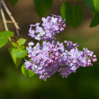 Spring branch of lilac — Stock fotografie #5357556