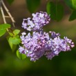 Foto de Stock  : Spring branch of lilac