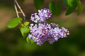 Spring branch of a lilac — Stock Photo