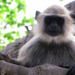 Stock Photo: Hairy monkey black langur animal