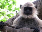 Hairy monkey black langur animal — Stock Photo