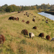 Stock Photo: Heidschnucken graze at dike in north of Germany