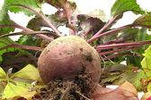 Newly harvested beetroot — Stock Photo