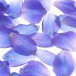 Larkspur petals - Stock Photo