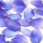 Постер, плакат: Larkspur petals