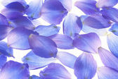 Larkspur petals — Stock Photo