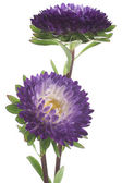 China aster — Stock Photo