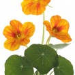 Nasturtium — Stock Photo #4603402