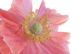 Haşhaş çiçeği — Stok fotoğraf
