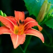 Stock Photo: Orange Saturated Lily on Leaf Background