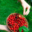 Woman's Hands Holding Basket of Ripe Cherries — Stock Photo #4957792