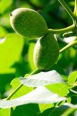 Green Walnuts in theTree — Stock Photo