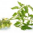Green tomatoes vegetables with blossom isolated - Stock Photo