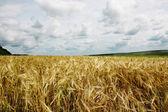 Sunset over golden wheat field — Stock Photo