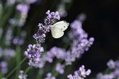 Farfalla e lavanda — Foto Stock