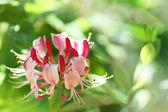 Lonicera flower in a sunlight — Stock Photo