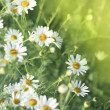 Stock Photo: Field of daisy