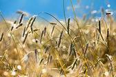 Rye field at sunrise. — Stock Photo