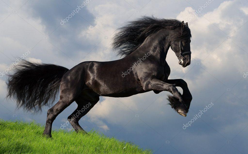 Friesian Horse Galloping Friesian Stallion Gallop in