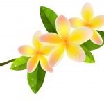 Frangiapani flowers — Stock Vector
